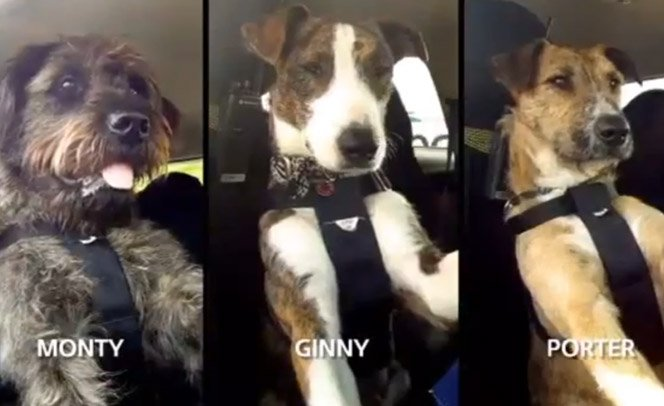 Campanha de adoção ensina primeiros cachorros do mundo a dirigir um carro