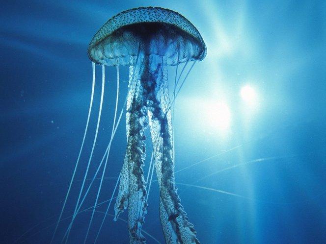 Essa água-viva é o único animal imortal do planeta