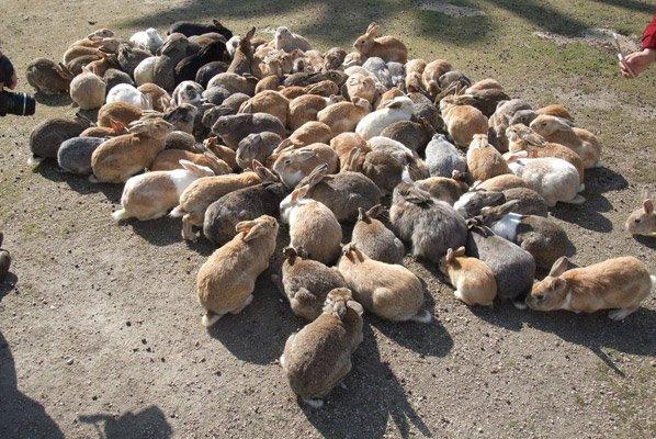 Conheça Okunoshima, a ilha japonesa dominada por coelhos