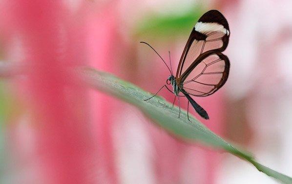 Design da Natureza: Conheça a incrível borboleta de asas transparentes