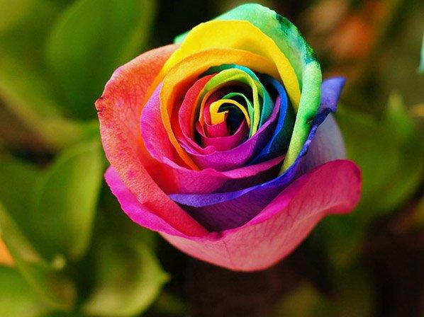 Rosas de Arco-íris: conheça o segredo delas e aprenda a fazer uma para você