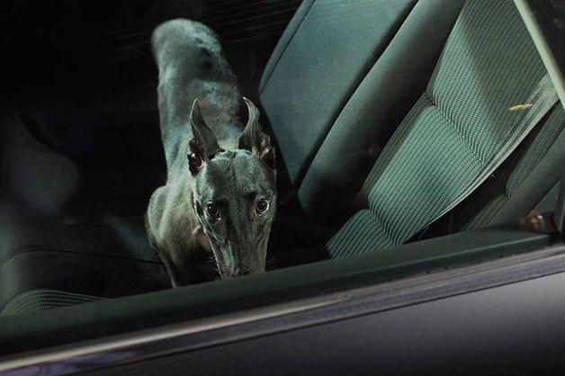 DogsinCars9