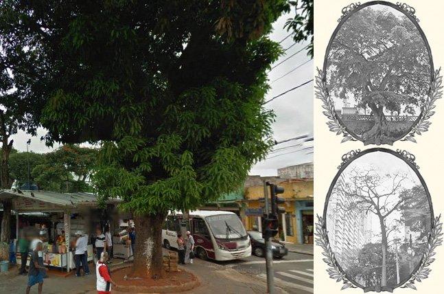 Conheça as árvores veteranas que sobreviveram à urbanização de SP