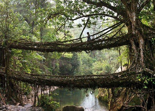 Eles usam raízes de árvores pra cultivar pontes naturais que duram até 500 anos