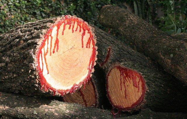 Conheça a árvore que sangra quando é cortada