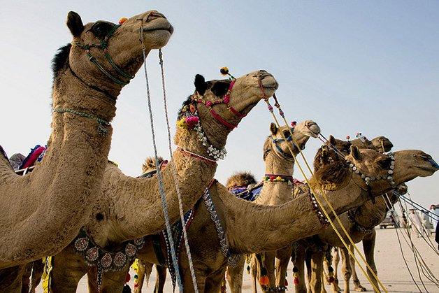 CamelArt1