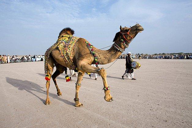 CamelArt7