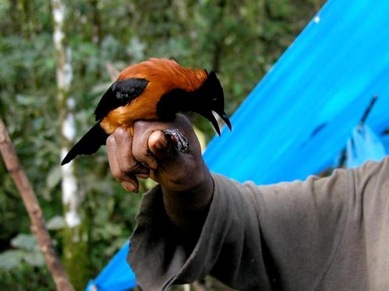 Conheça o único pássaro venenoso do planeta, recém-descoberto pelos cientistas