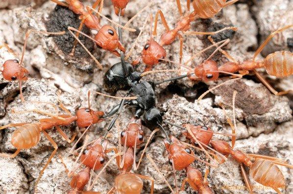 Fantásticas fotos macro de formigas lutando entre si