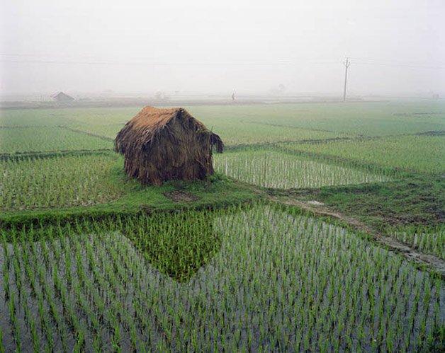 21730-7 - Rice Fields in fog at dawn, near Chuknager, Bangladesh