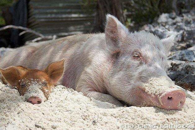 PigsIsland2