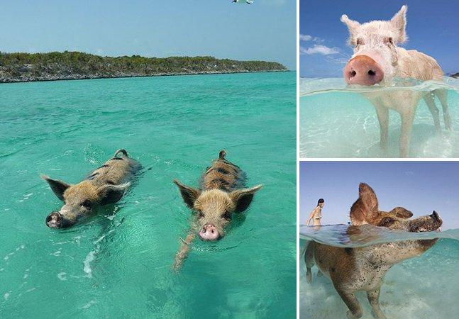 Conheça a ilha dominada por porcos nadadores