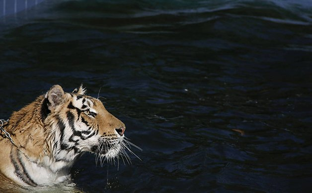 TigerFamily11