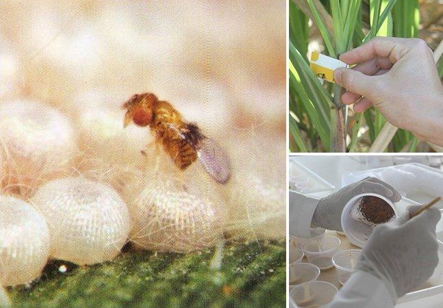 Vespas são usadas em plantações para substituir agrotóxicos