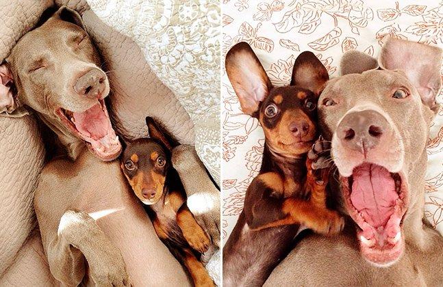 Amizade de dois cães de tamanhos bem diferentes vira febre no Instagram