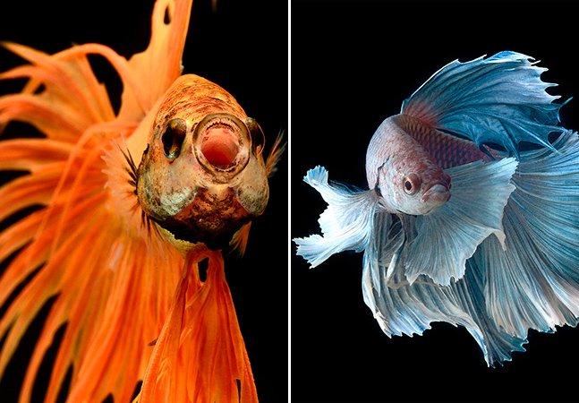 Ensaio impressionante mostra de perto a exuberância de peixes-Betta