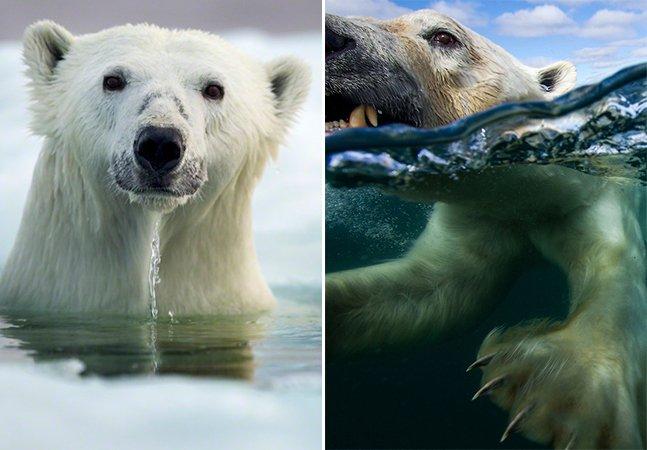 Série fotográfica retrata de perto ursos polares nadando