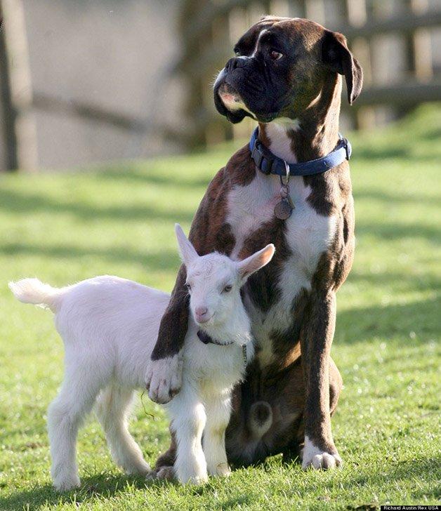 Billy the Boxer Dog and Nanny Goat Lily, Pennywell Farm, Buckfastleigh, Devon - 27 Feb 2008