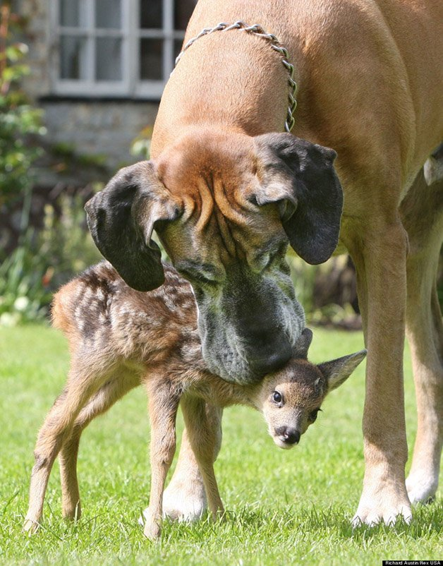Rocky, the Giant Great Dane who is playing stepmum to abandoned fawn Cindy, Highbridge, Somerset, Britain - 02 May 2008