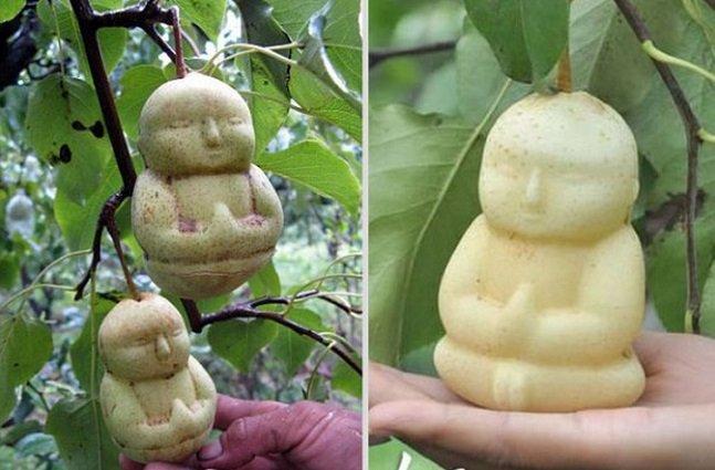 Homem reinventa o formato da pera cultivando o fruto em forma de buda bebê