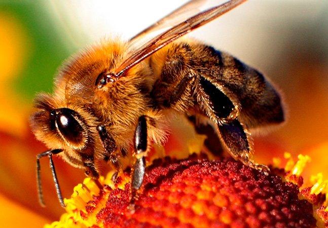 Cientistas descobrem que veneno de abelha pode ser usado para destruir vírus da aids
