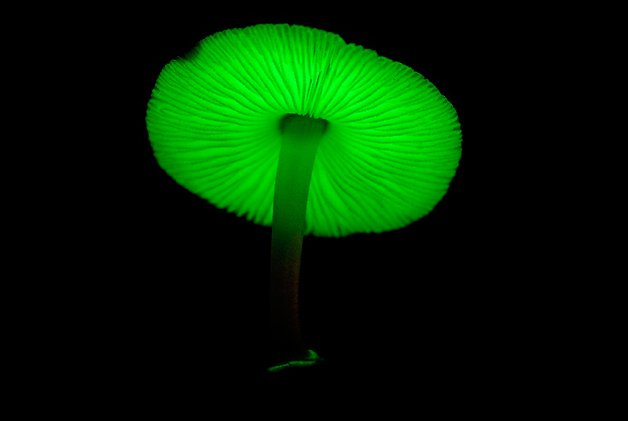 BioluminuscentMushrooms1