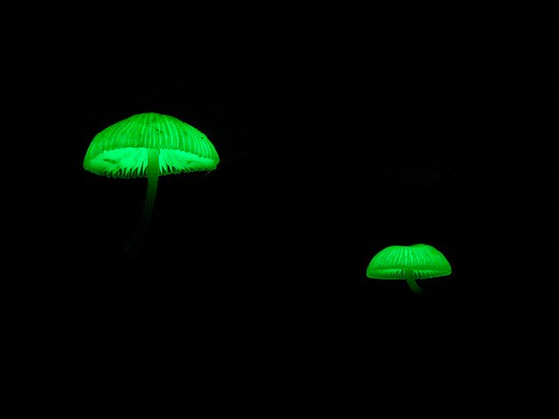 BioluminuscentMushrooms2