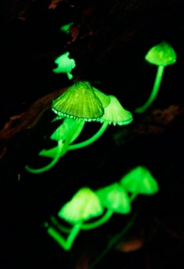 BioluminuscentMushrooms4