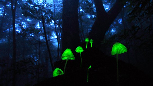 BioluminuscentMushrooms5