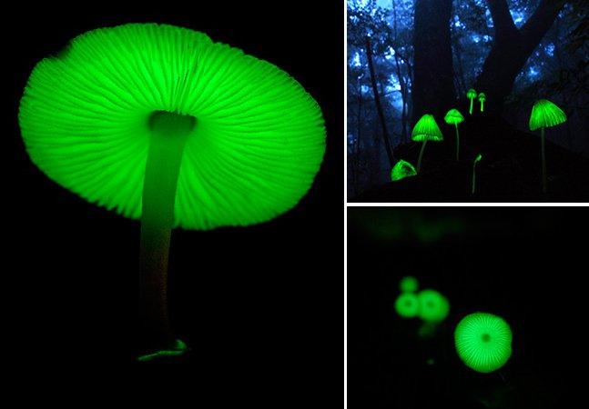Arte da natureza: conheça os raros e fantásticos cogumelos luminosos