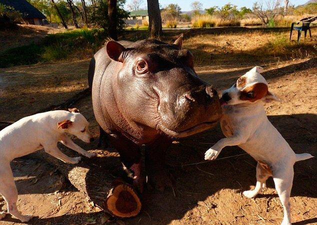 A improvável amizade entre dois cães e um filhote de hipopótamo abandonado