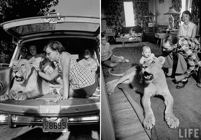 A incrível história da família que teve uma leoa como pet durante 13 anos sem nunca ter acontecido nenhum acidente