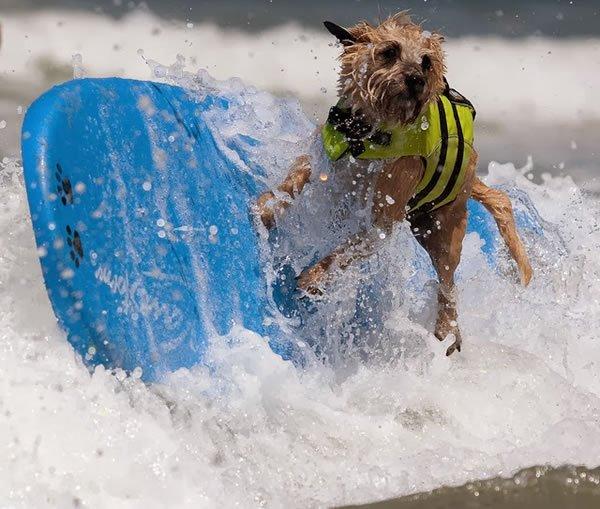 Surf-City-Surf-Dog-surfer-surfing-1