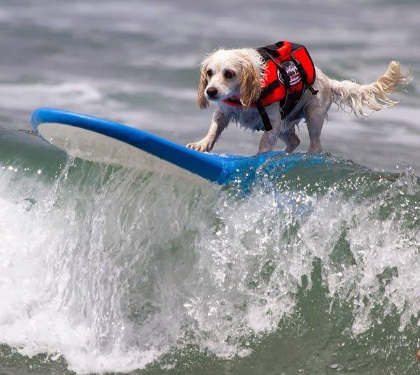 Surf-City-Surf-Dog-surfer-surfing-13
