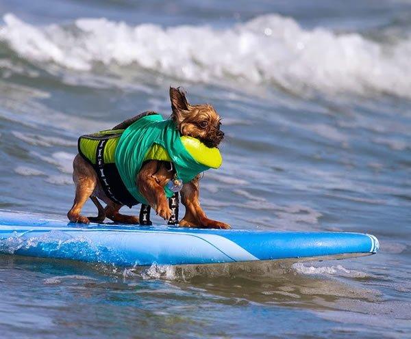 Surf-City-Surf-Dog-surfer-surfing-15