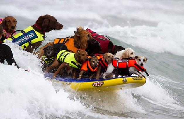 Surf-City-Surf-Dog-surfer-surfing-16