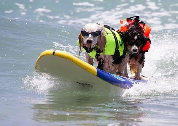 Surf-City-Surf-Dog-surfer-surfing-19