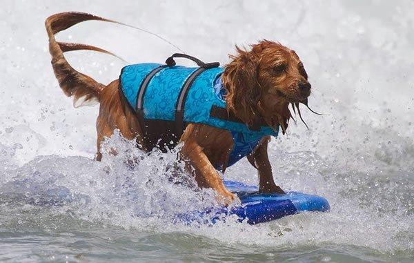 Surf-City-Surf-Dog-surfer-surfing-2