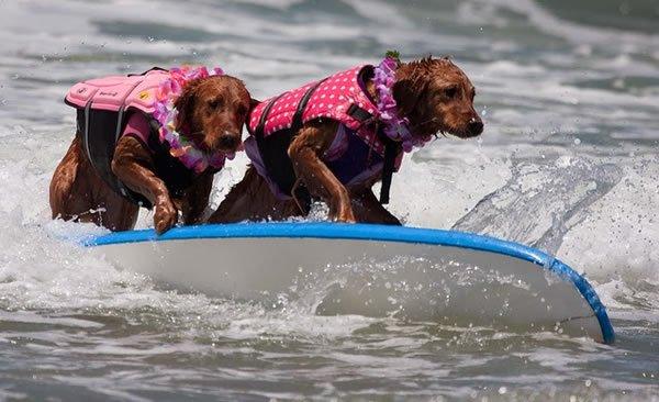 Surf-City-Surf-Dog-surfer-surfing-20