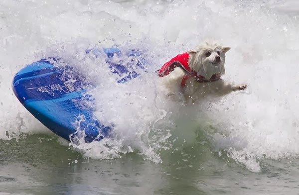 Surf-City-Surf-Dog-surfer-surfing-21