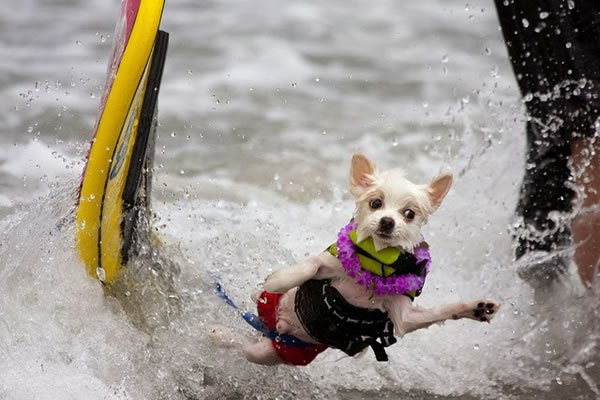 Surf-City-Surf-Dog-surfer-surfing-22