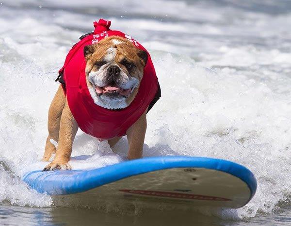 Surf-City-Surf-Dog-surfer-surfing-25