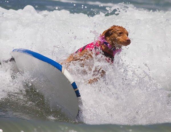 Surf-City-Surf-Dog-surfer-surfing-29