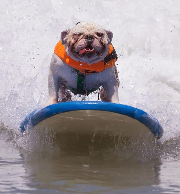 Surf-City-Surf-Dog-surfer-surfing-3