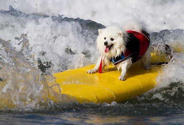 Surf-City-Surf-Dog-surfer-surfing-4