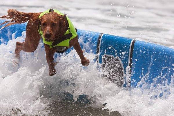 Surf-City-Surf-Dog-surfer-surfing-7