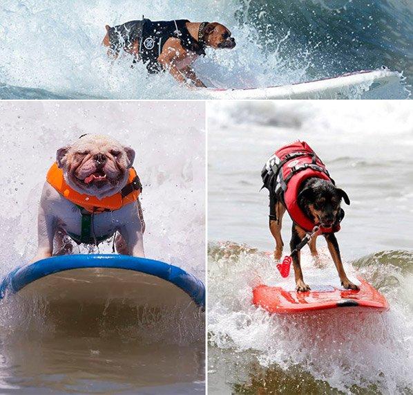 Campeonato de surf canino prova que cães são ainda mais inteligentes do que imaginávamos