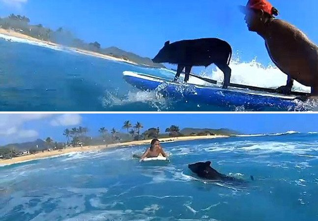 Esse é o porquinho Kama e seu esporte preferido é surfar