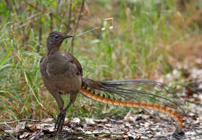 As imitações de som que esse pássaro faz é uma das coisas mais impressionantes que vimos nos últimos tempos