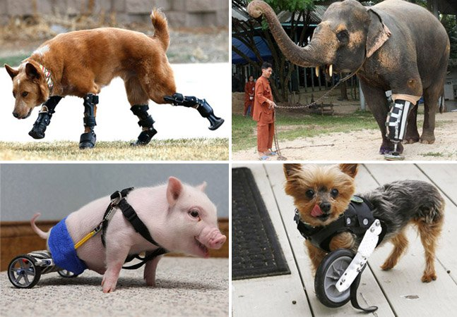 13 animais que voltaram a ter uma vida normal graças aos humanos e à tecnologia